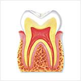 img21 歯の構造